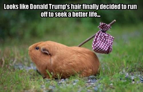 guines-pig-donald-trump-hair